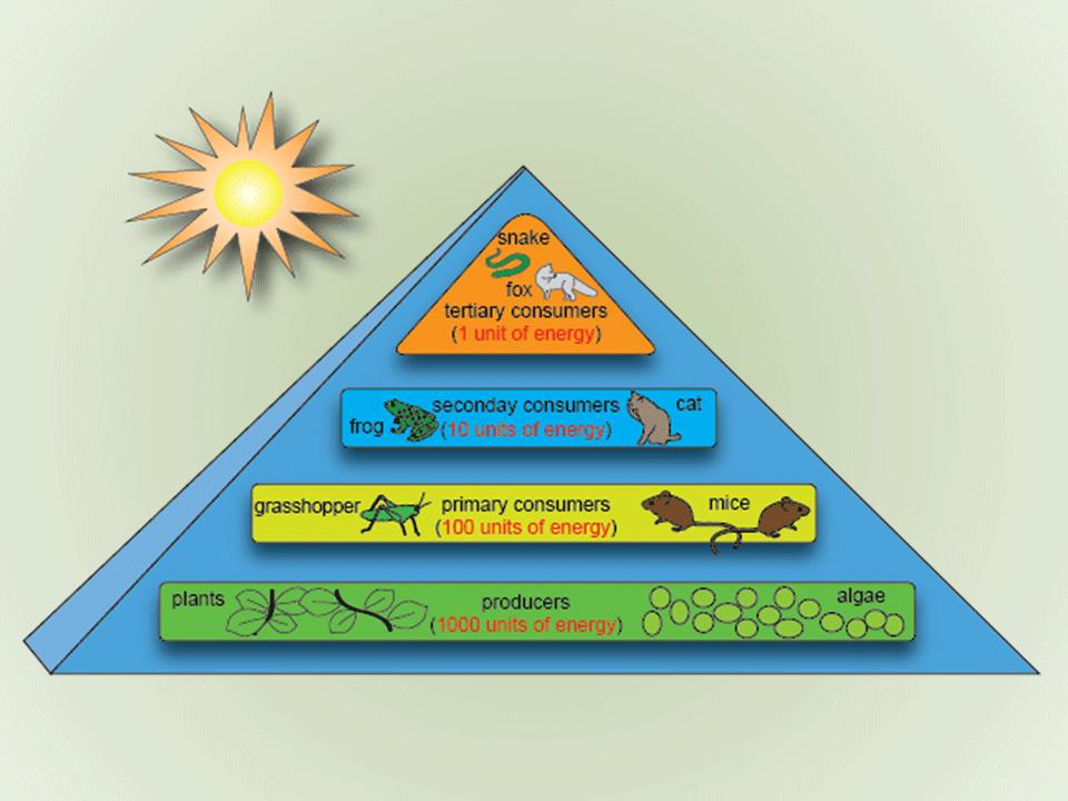 Whale+Energy+Pyramid Whale+Energy+Pyramid Quantum Nutrition III ...
